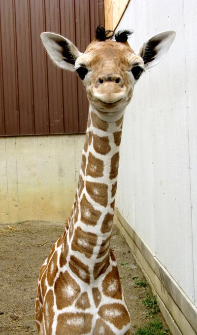 Baby giraffe calf binder park zoo 4