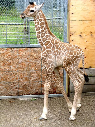 Baby giraffe calf binder park zoo 3