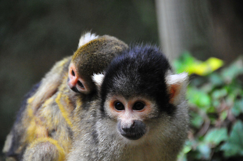Baby squirrel monkey zoo boissiere 2