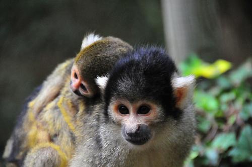 Baby squirrel monkey zoo boissiere 2