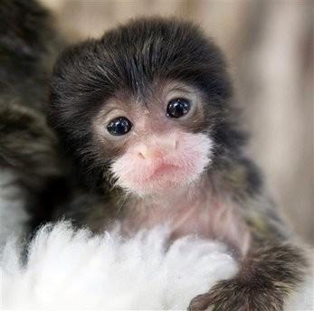 Capt_1e4883d37aef44dea0ab7c45b228292b_denver_zoo_tamarin_monkey_twin_orphans_dx104
