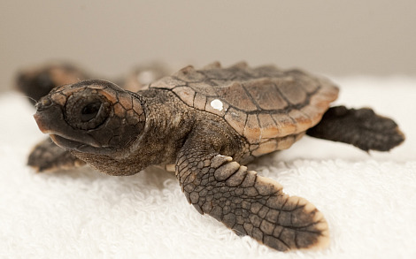 Baby loggerhead sea turtle sea world orlando 2