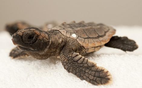 Baby loggerhead sea turtle sea world orlando 2