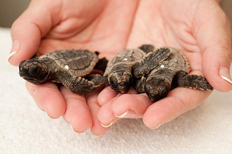 Baby loggerhead sea turtle sea world orlando 3