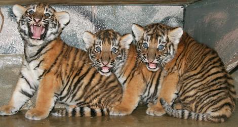 Baby tiger cubs utahs hogle zoo 1