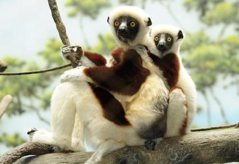 Sifaka lemur baby 1 rs