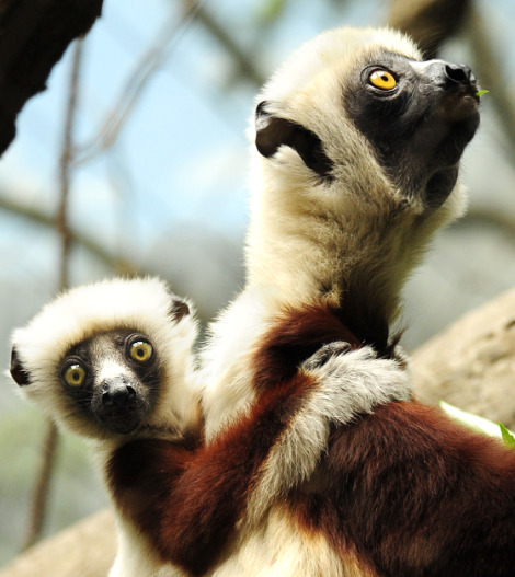Sifaka lemur baby 2 rs