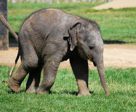 Baby elephant calf whipsnade zoo 1