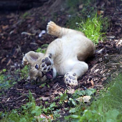 Asian lion cub at London Zoo, via zooborn.com