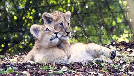 Baby lion cub zsl london zoo 1