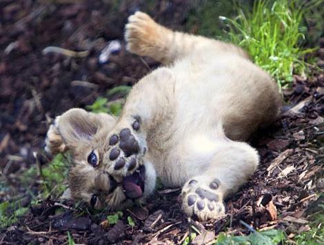 Baby lion cub zsl london zoo 2