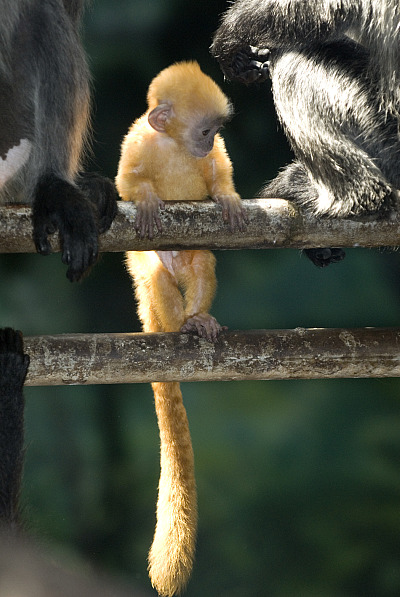 Silvery langur baby columbus zoo 4 rs