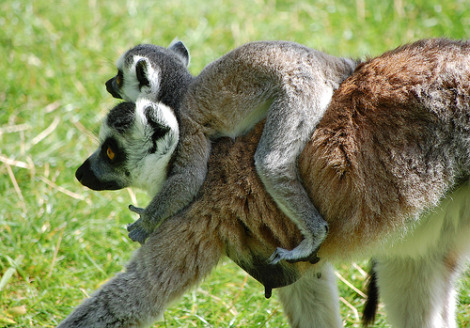 Baby ring tail riding moms back 1