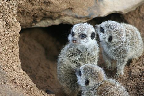 Baby meerkats belfast zoo 2 rs