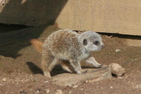 Baby meerkats belfast zoo 3 rs2