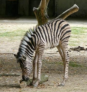 Baby zebra antwerp 4