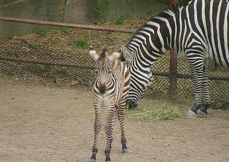 Baby zebra foal mesker park zoo 2