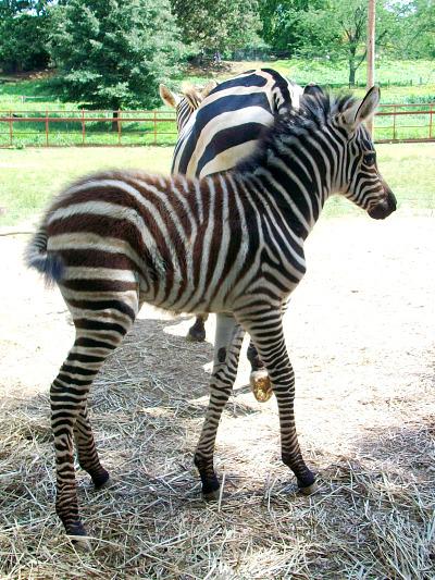 Baby zebra foal mesker park zoo 3