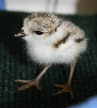 Piping plover chick 3