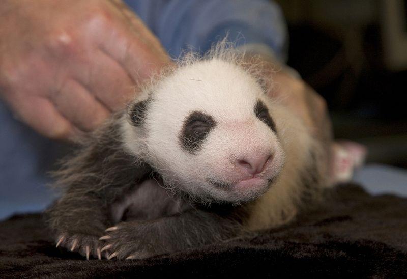 Baby panda cub san diego zoo