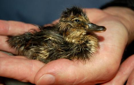 Baby duck louisville zoo 2