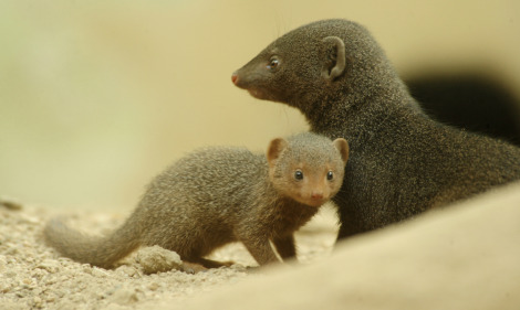 Baby dwarf mongoose bronx zoo 1 rs