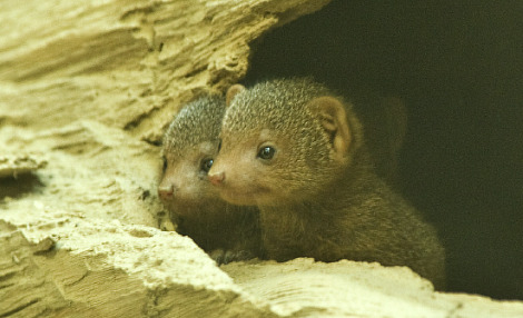 Baby dwarf mongoose bronx zoo 2 rs