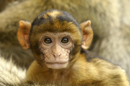 Baby barbary macaque apenheul 1