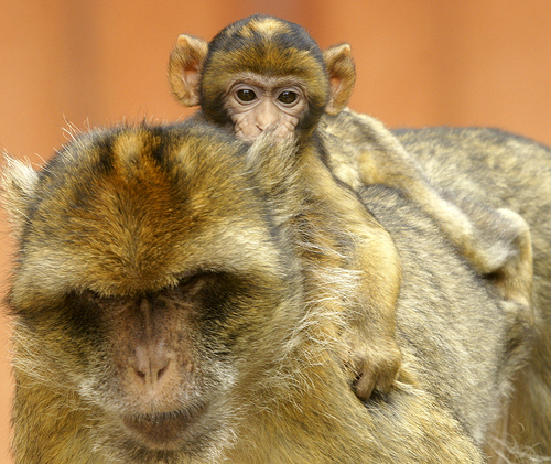 Baby barbary macaque apenheul 2