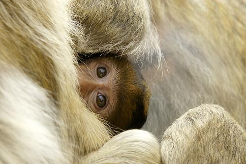 Baby barbary macaque apenheul 4
