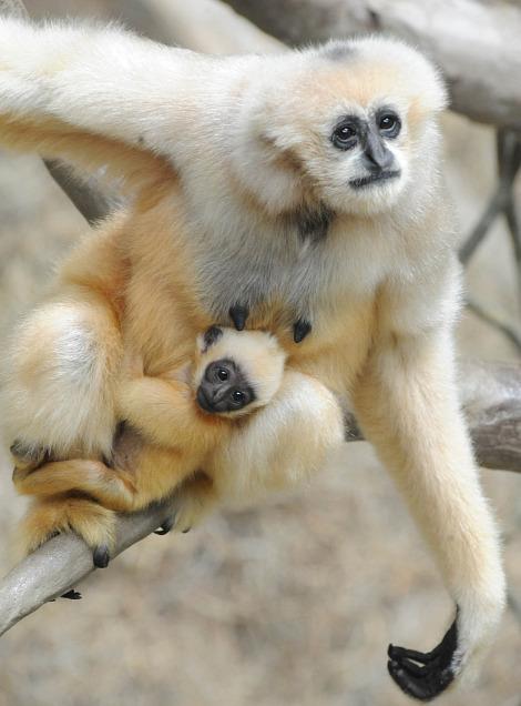Mamãe gibão leva o filhote para passear