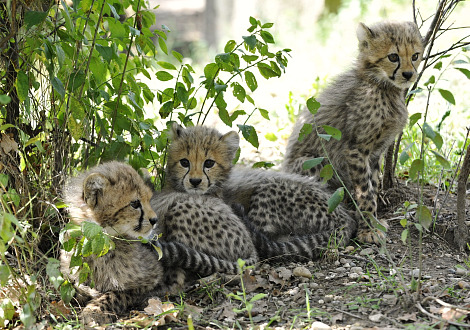 Cheetah cubs 1