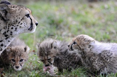 Cheetah cubs zoo basel 3