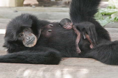 Baby siamang lowry park zoo rs