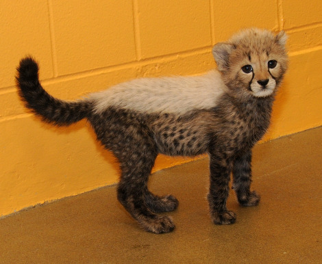 Nia Cheetah Cub Cincinnati Zoo 2 rs