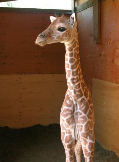 Baby giraffe calf binder park zoo 2
