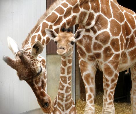 Baby giraffe calf binder park zoo 5