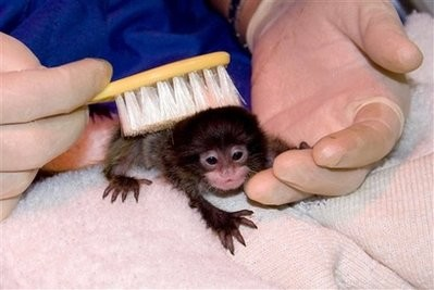 Capt_12b6d238ec9b46b788353ab09a9b9d64_denver_zoo_tamarin_monkey_twin_orphans_dx103