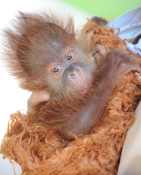 Baby orangutan audubon zoo 1