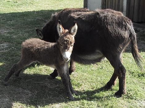 Miniature Donkey Baby 1
