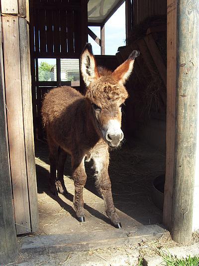 Miniature Donkey Baby 2