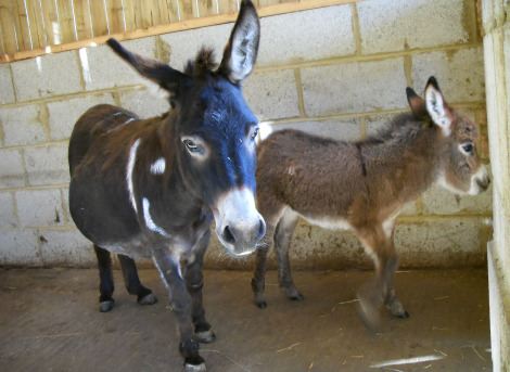 Miniature Donkey Baby 3