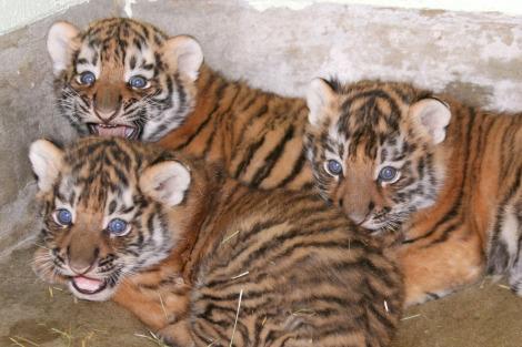 Baby tiger cubs utahs hogle zoo 2