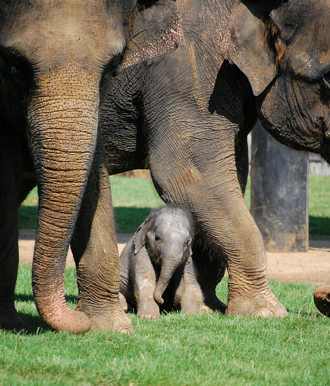 Baby elephant calf whipsnade zoo 3 rs