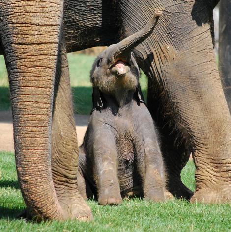 Baby elephant calf whipsnade zoo 2 closeup