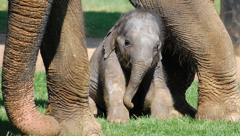 Baby elephant calf whipsnade zoo 3 closeup rs