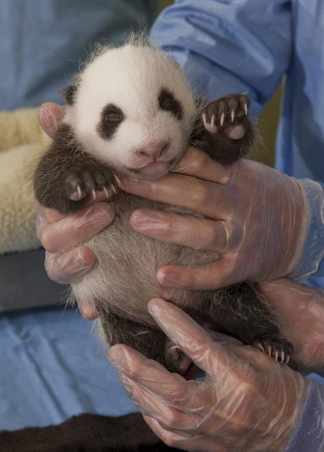 Baby panda cub san diego zoo 3