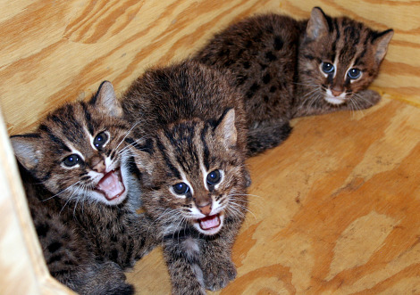 Fishing cats cincinnati zoo 1 rs