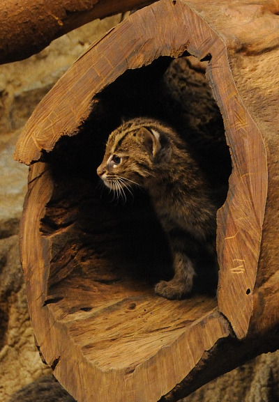 Fishing cats cincinnati zoo 3b rs