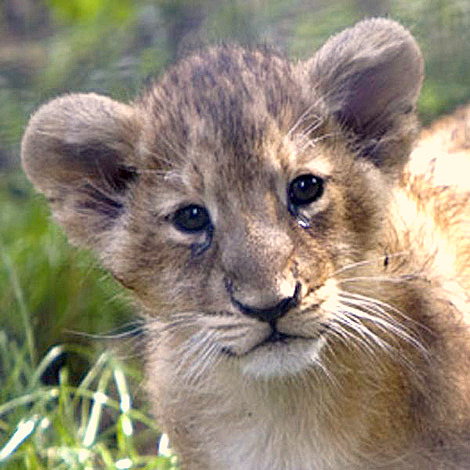 Baby lion cub zsl london zoo 3